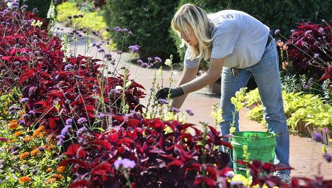 Gardens Supervisor Nia Primus deadheads snapdragons and coleus plants in September 2015 at Clemens Gardens.