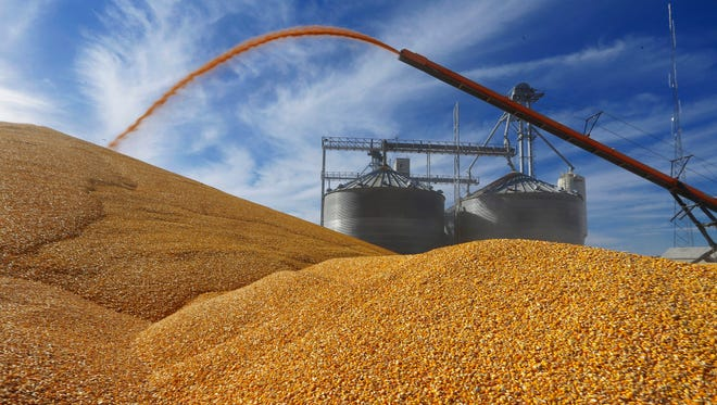 Central Illinois farmers deposit harvested corn outside a full grain elevator Virginia, Ill.