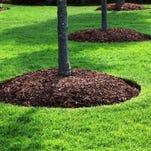 Enlarge the mulch circle each year as the tree grows.