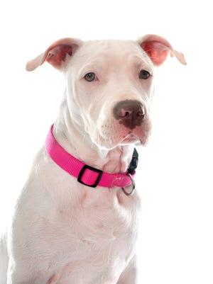 File photo of pit bull terrier