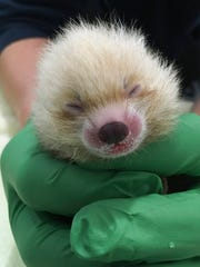 In this photo taken Tuesday, June 26, 2018, and provided by the Sacramento Zoo, is the zoo's new baby red panda. The newest furry member of the Sacramento Zoo is relying on human care after her mother started neglecting the tiny red panda. Sacramento Zoo spokeswoman Laurel Vincent said Friday, June 29, 2018, that the female cub was born Monday to 7-year-old Pili and 9-year-old Takeo. Veterinarians took the hypothermic cub into intensive care a day after her mother left her unattended.