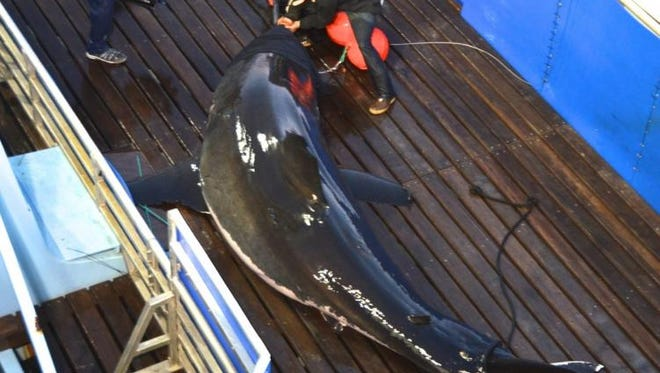 Mary Lee, a 16-foot great white shark, is seen here in 2012 being tagged by OCEARCH.