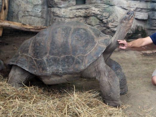 Ric Urban, animal ambassador at Newport Aquarium, scratches the neck of Bravo, an 84-year-old Galapagos tortoise, in the aquarium's new Turtle Canyon exhibit.