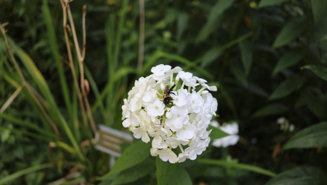 A large carpenter bee pollinates these flowers in the phenology garden at the Lake Erie Islands Nature and Wildlife Center during the inaugural Island Green Week event last year. The second annual event starts Aug. 5.