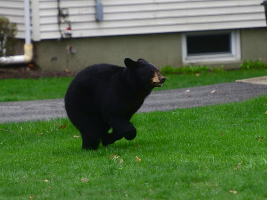 A black bear runs across the lawn of a home on Benton