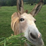 A donkey at Integrated Acres in Douglass, Texas says hello to Lydia Thomas on her cross country work adventures.