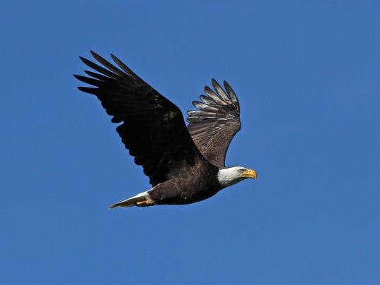 blad eagle.jpg