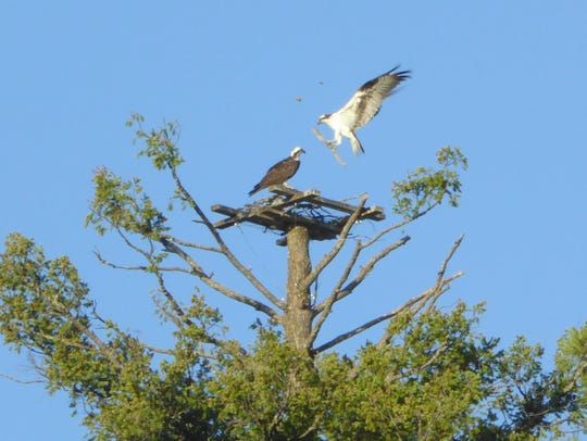 The osprey mate brings some twigs to help build a nest