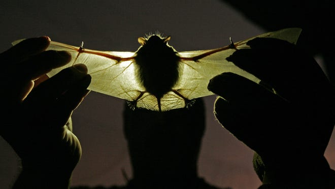 The big brown bat captured here is the species common at Ball State University. b
