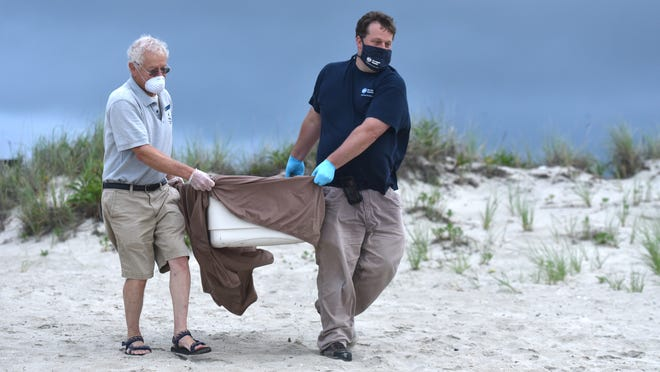 WEST DENNIS -- 07/01/20 -- Mass Audubon's Bob Prescott, left, and New England Aquarium's Adam Kennedy carry a satellite tagged loggerhead turtle to the water's edge at West Dennis Beach early Wednesday morning, one of seven turtles released back into the sea.
