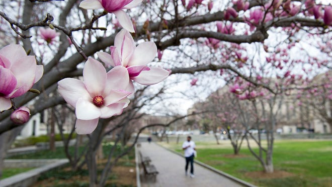 Tulip magnolia trees bloom in Washington, D.C., on Feb. 28, 2017.
