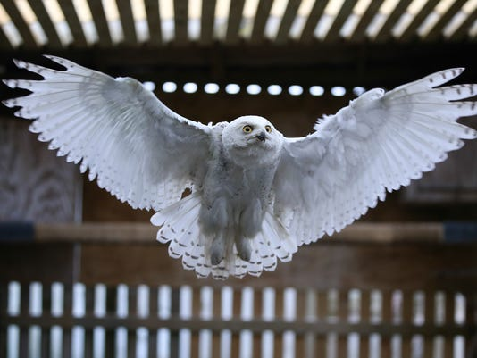 Louisville Snowy Owl To Be Released By Wisconsin Wildlife Group