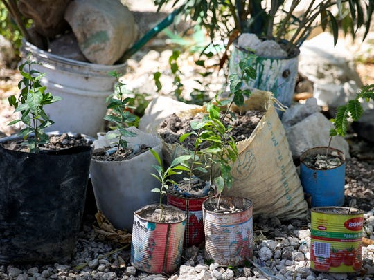 Prospere Desilme grows plants in cans and buckets at his home in Onaville.