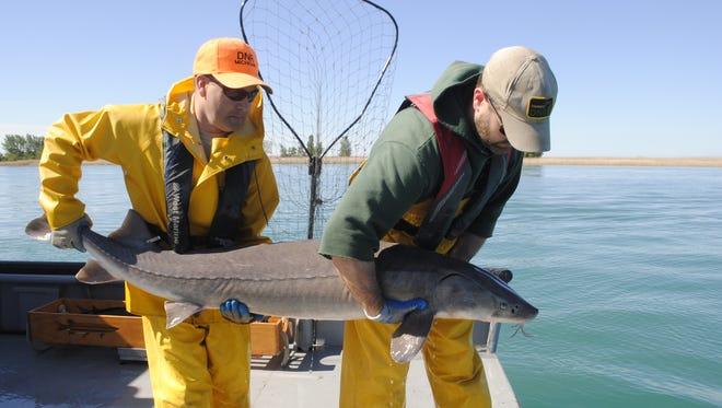 Jason Pauken, left, and Brad Ultrup prepare to release a lake sturgeon.