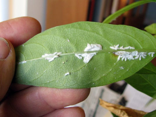 REN1227 scale insects 1.jpg