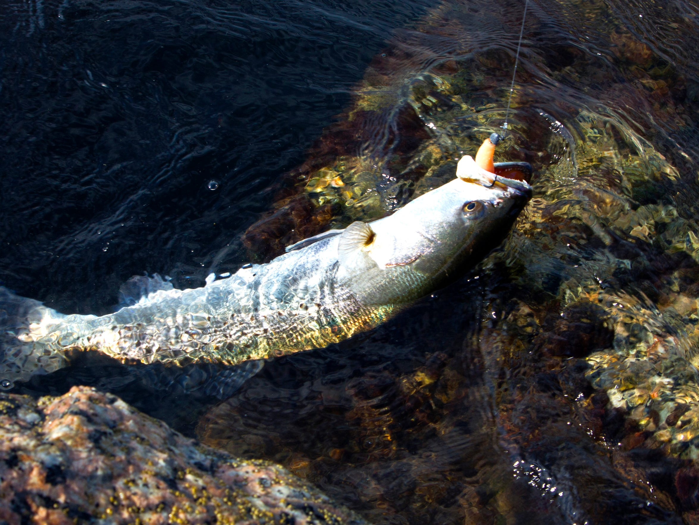 Speckled trout are caught near jetties year-round in
