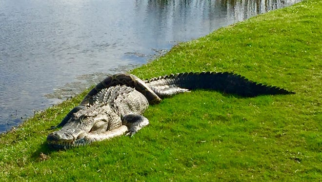 A Burmese python and a Florida alligator were seen wrestling on the ground at Fiddler's Creek Golf Club southeast of Naples on Friday, Jan. 12, 2018.