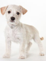 Chucky, 2-month-old male terrier mix puppy. No. 99690.