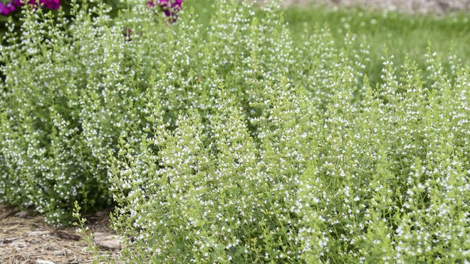 Lesser calamint features clouds of little white flowers.