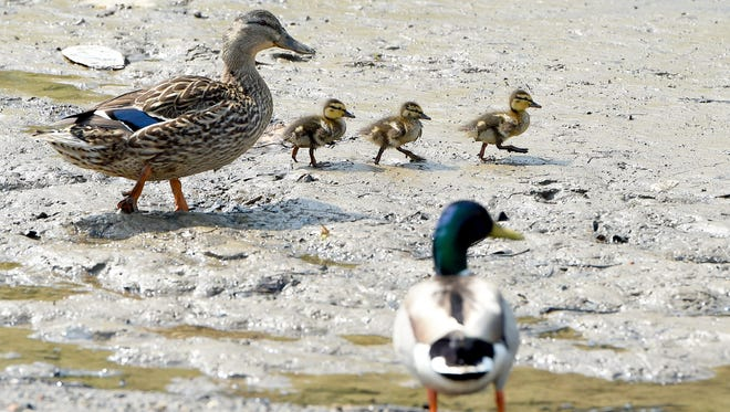 Ducklings make their way across the sludge and muck of a drained Lake Tams on Friday, May 8, 2015.