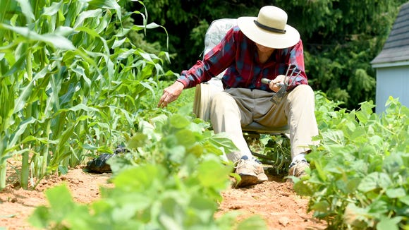 Thomas Lowery sits in a chair next to the rows of corn as he pulls weeds from among his bean plants. He works in his garden behind his home on Lyndhurst Road in Waynesboro on Tuesday, June 30, 2015.
