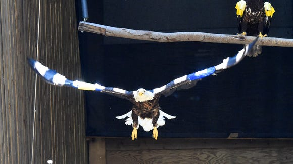 A mature female bald eagle, patient #15-0642 flies the length of a flight pen with patient #15-1250, a juvenile male bald eagle, still perched behind her at the Wildlife Center on Monday, August 24, 2015. The mature eagle will be released on Wednesday at 11:30 a.m. at Widewater State Park while the juvenile will be released Thursday at 3:00 p.m. at Chippokes Plantation State Park.