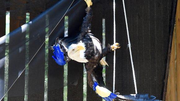 A mature female bald eagle, hangs upside down, not unlike a bat, inside one of the flight pens.