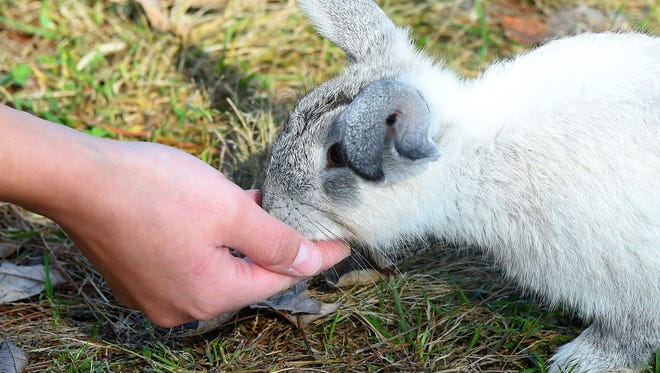 A rabbit eats from the hand of a visitor at Shenandoah Valley Campground in Verona on Thursday, Oct. 8, 2015. The campground is currently home to about 100 bunnies, which began around 25 years ago.
