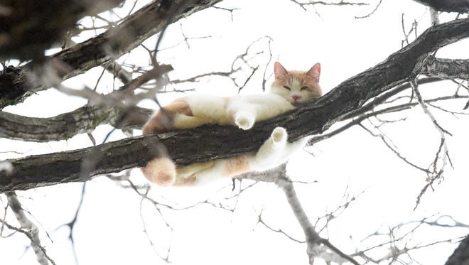 After seven days, Rufus still remains stuck on a limb in tree about 100 feet off the ground outside the Avery's home in Swoope, still refusing to come down, on Tuesday, Dec. 22, 2015.