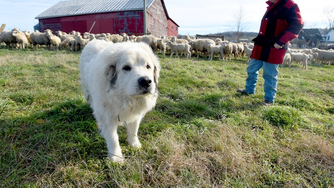 Hansel keeps watch over the flock, helping to keep the sheep safe from coyotes and other predators. The Great Pyrenees stands near owner Leo Tammi at Shamoka Run Farm in Mount Sidney on Monday, Jan. 11, 2016.