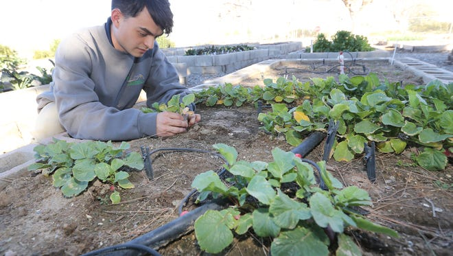 Stephen P. Stresow worked with radishes being grown at the Ascarate Park demonstration garden.