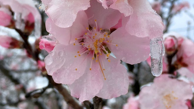 Ice and snow cling to the blossoms and branches of an almond tree in Staunton on Monday, March 14, 2017.