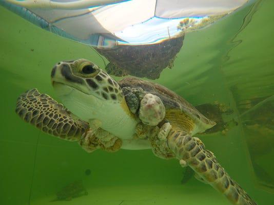 636498884155253327-97573152-sea-turtles-FP-004.JPG