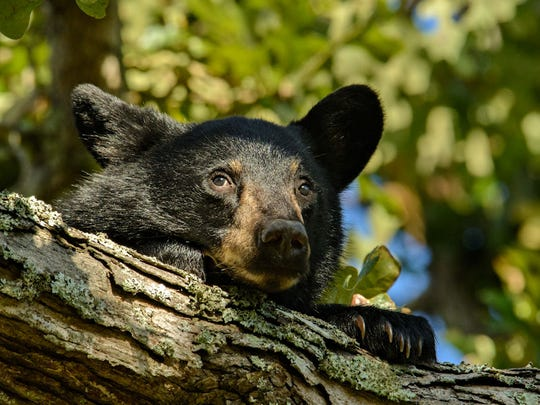 Dick Vance photographed a sleepy black bear cub in an oak tree last year with a Nikon D7100 and 80-400mm lens. Vance reports the cub had just woken from a nap while the mama bear roamed through the branches eating acorns.