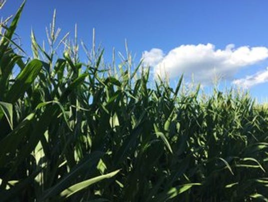 WSF-0812-dated corn.jpg