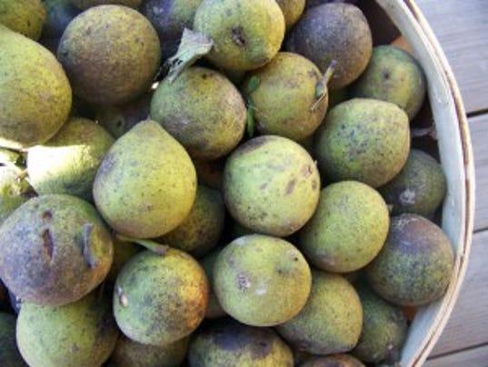636150695813160853-black-walnuts-in-hulls-300x225.jpg