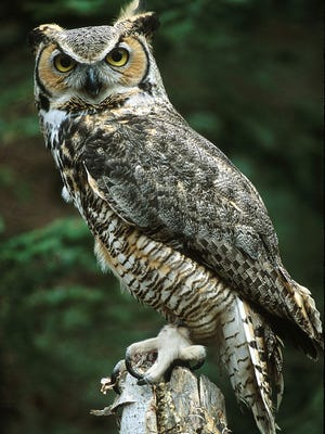 A great horned owl is shown at the University of Minnesota raptor center.