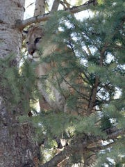 Treed cougar in the Sled Springs Unit, Oregon