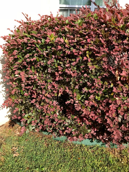 636645921651775791-6-11-18-Healthy-loropetalum---Copy.jpg
