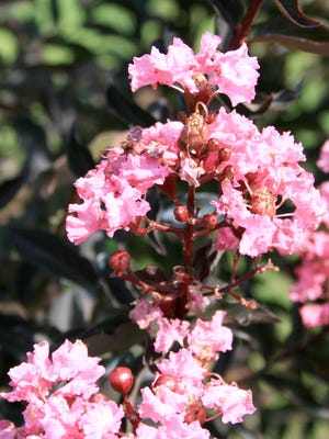 """Officials from Hattiesburg's Cemeteries and Urban Forestry Department are asking residents to avoid committing """"crepe murder"""" on their crepe myrtle trees."""