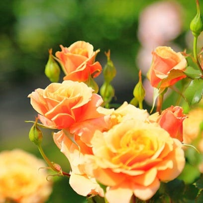 Roses are easy - if done right. Here are foolproof tips to follow for your Kentucky garden