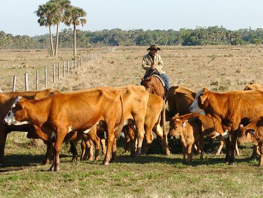 Adams Braford Cattle