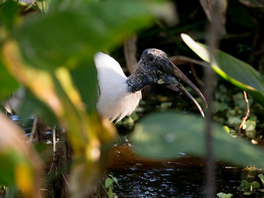 A wood stork catches a fish in the early morning at Audubon Corkscrew Swamp Sanctuary Thursday, March 22, 2018 in Naples.