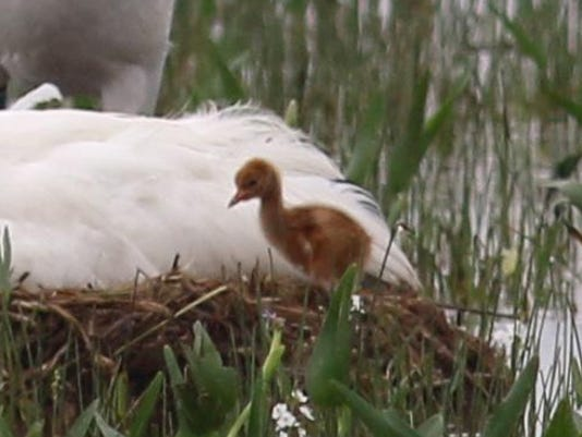 APTOPIX Louisiana Whooping Crane Hatches