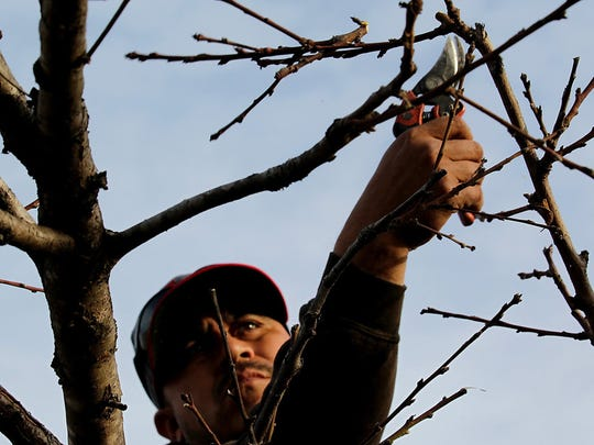 Pruning a fruit tree like this peach tree will encourage better fruit production.