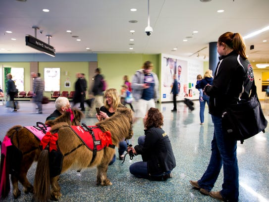 Wendy and Harley, miniature therapy horses, greet flyers