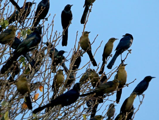 Hundreds of grackles roost in trees near United Market