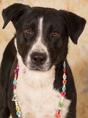Dusty is available for adoption at Friends for Life