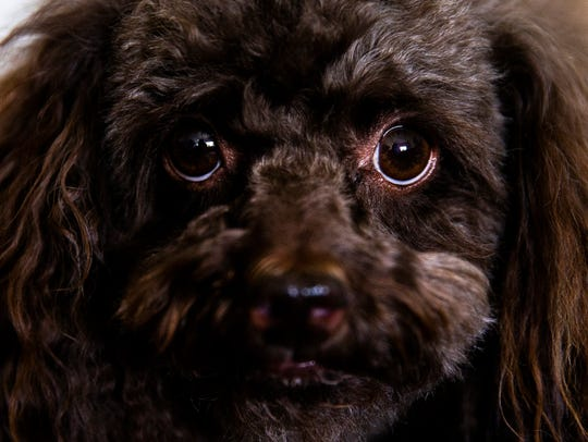 Jovi, a chocolate toy poodle, lives with his owner,
