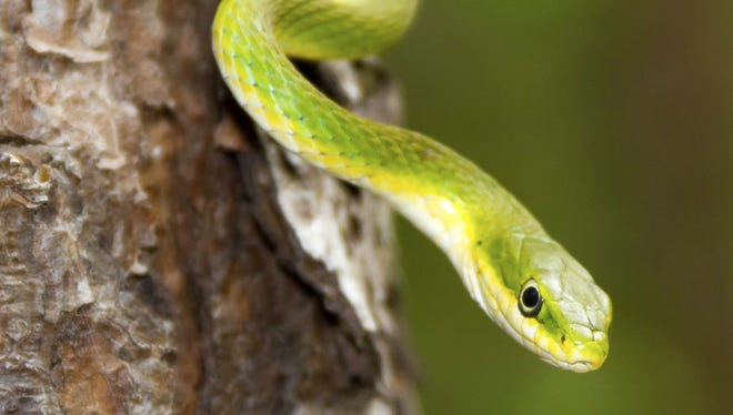 The harmless rough green snake can be found in Nashville.